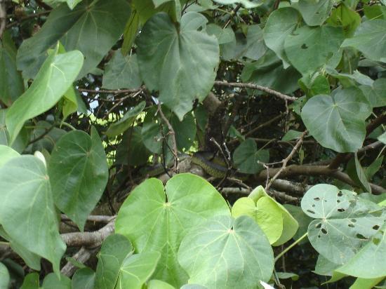 Cape Tribulation Wilderness Cruises : Snake in tree
