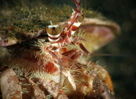 Divers Lodge Lembeh : Hermit crab