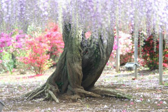 Ashikaga Flower Park: 大藤