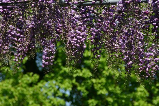 Ashikaga Flower Park: 八重藤