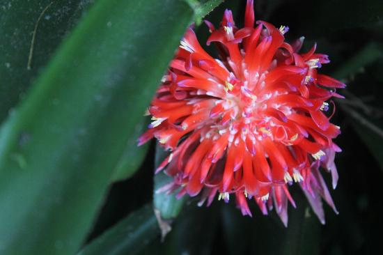 Halawa Valley: A torch ginger, i think.