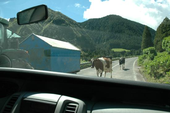 FestiTour Thematic Tours: Cows passing