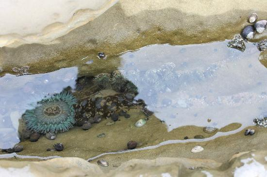 Point Loma: sea anemones in a small pool
