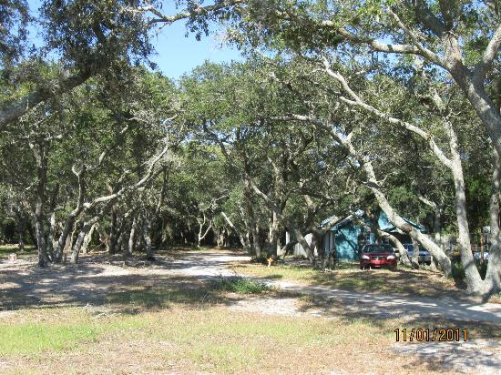 Kure Beach, Carolina del Norte: love these kinds of trees