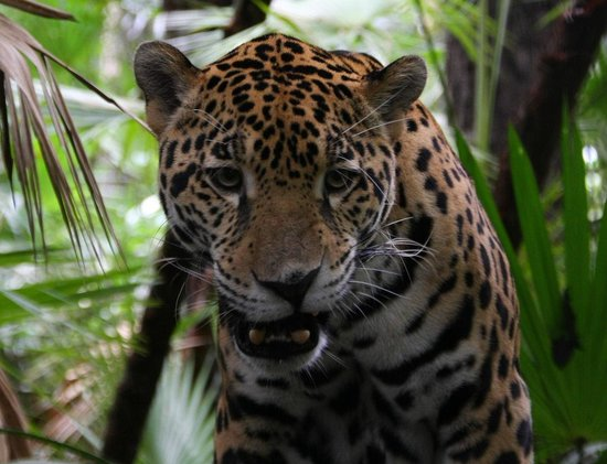 La Democracia, Belize: Jaguar