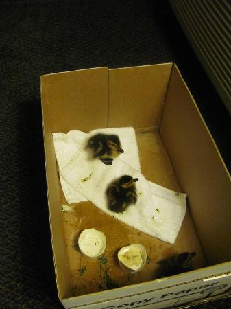 Howard Johnson Hotel & Suites by Wyndham Springfield: Ducks saved by the manager