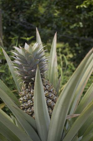 Tauono's: A pineapple in the garden