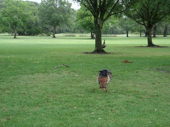 Disney's Oak Trail Golf Course: Turkey Vultures there were many
