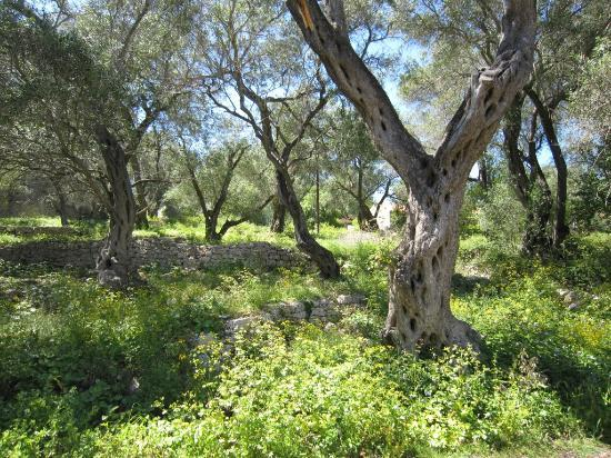 Vellianitatika Retreat: Olive groves on Paxos