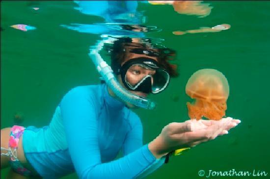 Derawan Dive Lodge: Did i say stingless jelly fish?