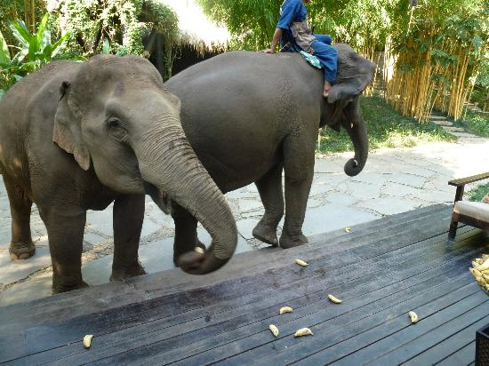 Four Seasons Tented Camp Golden Triangle: Elephants join guests for breakfast