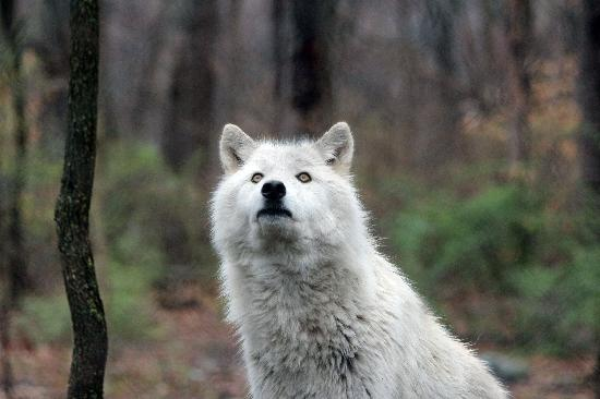写真Lakota Wolf Preserve枚