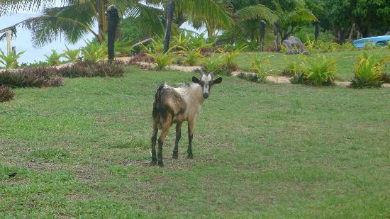Namuka Bay Lagoon Resort: Goat