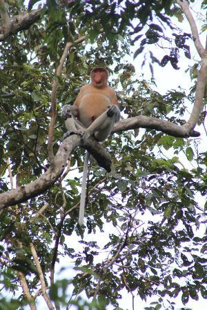 Nature Lodge Kinabatangan: Proboscis