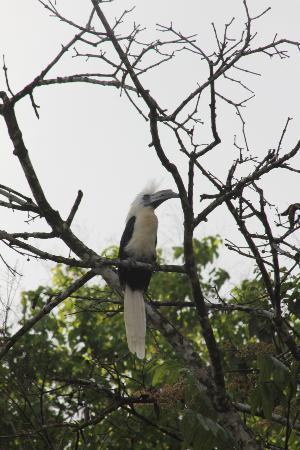 Nature Lodge Kinabatangan: Hornbill