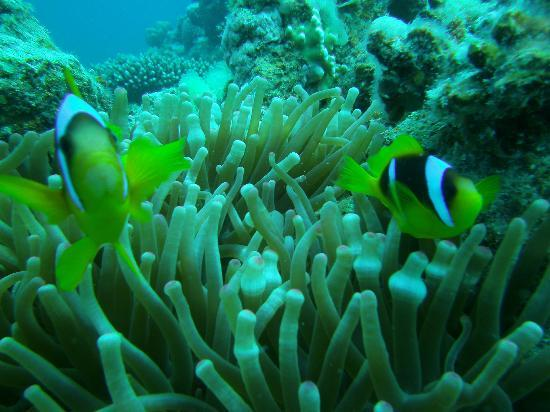Dahab Divers South Sinai Hotel & Dive center: Clownfish
