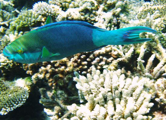Vakarufalhi Island Resort: parrot fish