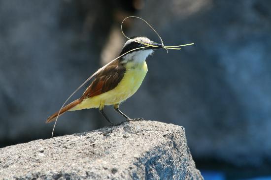 Hotel Pumilio: Vogel beim Nestbau direkt am Pool