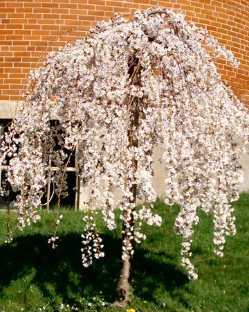 The Old Parsonage Bed & Breakfast : WEEPING CHERRY TREE ON THE GROUNGS