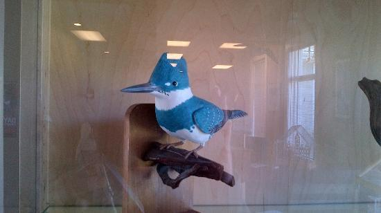 Inglewood Bird Sanctuary and Nature Centre : Belted Kingfisher display