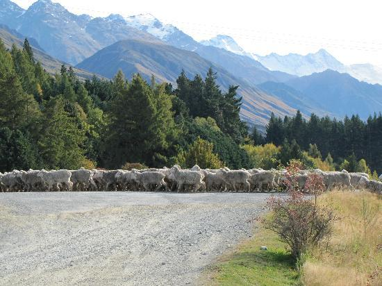 Mount Cook Glentanner Park Centre: Sheep crossing road at Glentanner