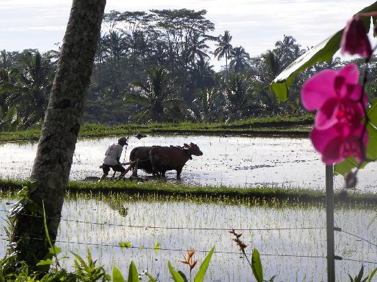 Travail des rizières devant SAUDARA HOME