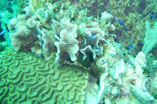 Mayan Divers: Coral