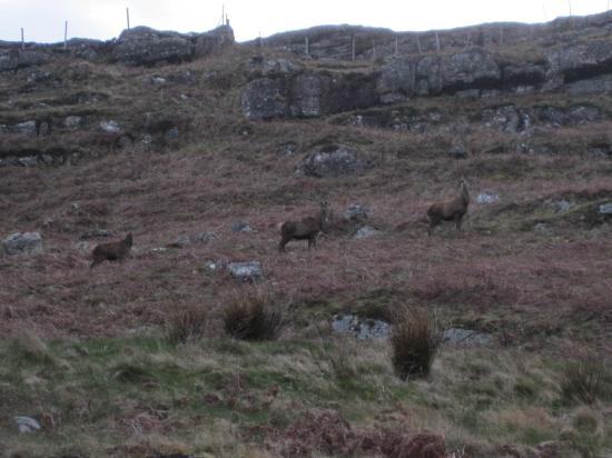 Cruachan Guest House: Trio of deer along the road from the house
