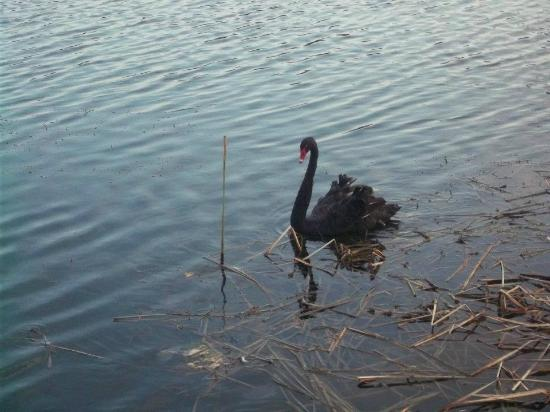 Sherwood Forest RV Park : Sherwood Forest black swan