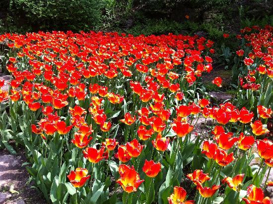 Royal Botanical Gardens: tulips at RBG Rock Garden