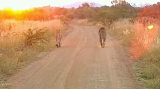 Tshukudu Bush Lodge: Lions at Dawn