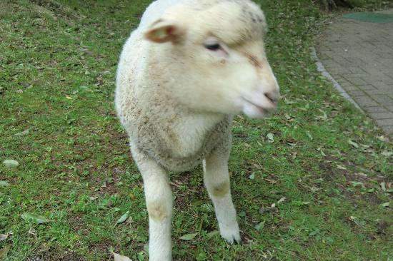 Rokkosan Farm: 1ヶ月前に生まれた子羊かわいい