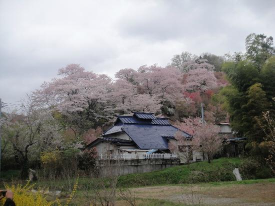 Hanamiyama Park: 桜の嵐