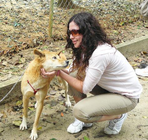 Avustralya: Dingos!