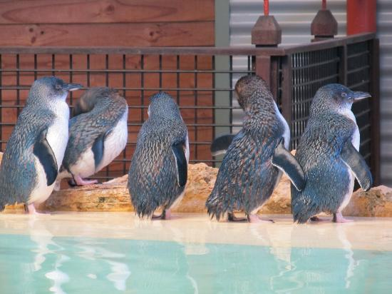 Rockingham, Australien: Little Penguins