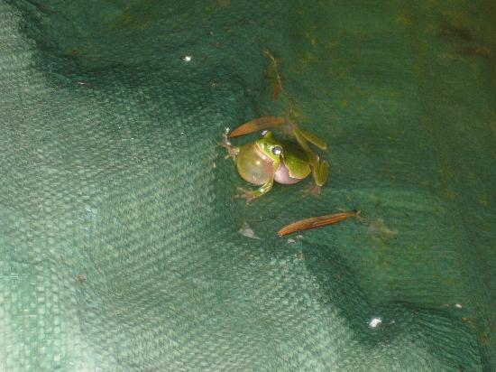 "Agriturismo I Cedri: Frog chorus at our ""swimming pool""!"