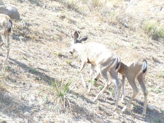 Malibu Creek State Park: Deer At Malibu State park