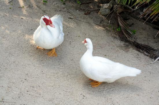 Seaflower Bungalows: the pet ducks