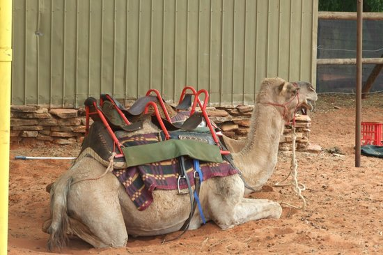 Kings Creek Station: Camel rides
