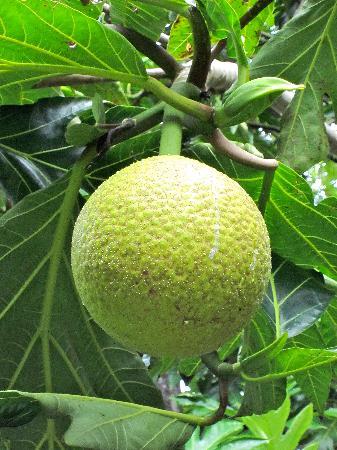 Kahanu Garden: One type of ulu at the Garden