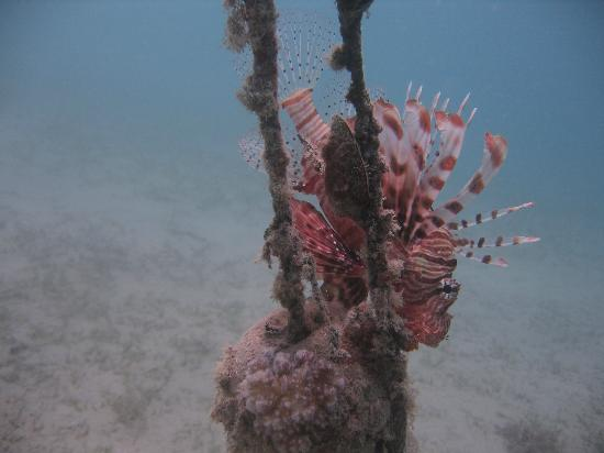 Emperor Divers Nuweiba - Day Tours: lion fish