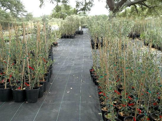 Sandy Oaks Olive Orchard