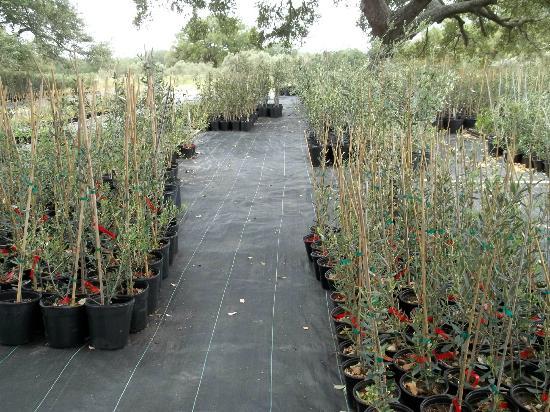 Elmendorf, TX: Olive Orchard