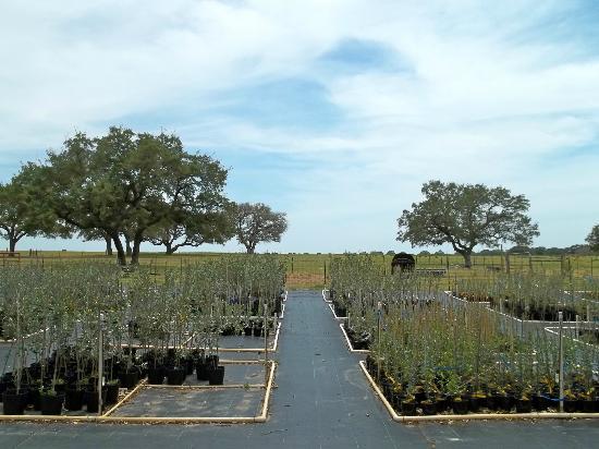 Sandy Oaks Olive Orchard: Olive Orchard