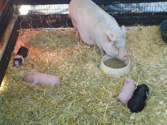 Leesburg Animal Park: Pigglets witht here momma