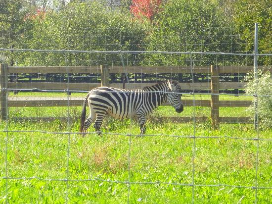 Leesburg Animal Park: zebra