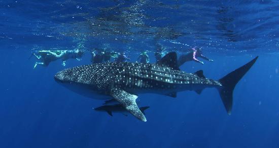 3 Islands Whale Shark Dive