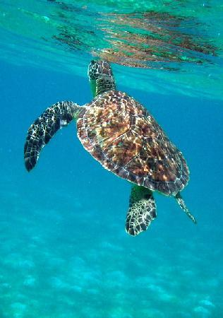 Simply Carriacou Island Tours : Swimming with turtles