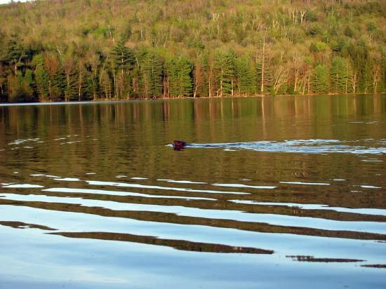 Snowdon Chalet: Great wildlife watching at Lowell Lake minutes from the Snowdon.  Here is a beaver swimming.