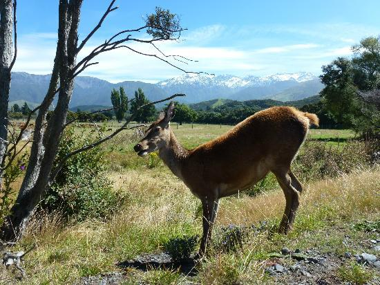 Hapuku Lodge: A friendly deer on the grounds